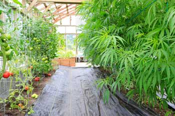 Cannabis Grow House